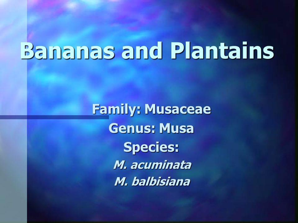 Bananas and Plantains Family: Musaceae Genus: Musa Species: M. acuminata M. balbisiana