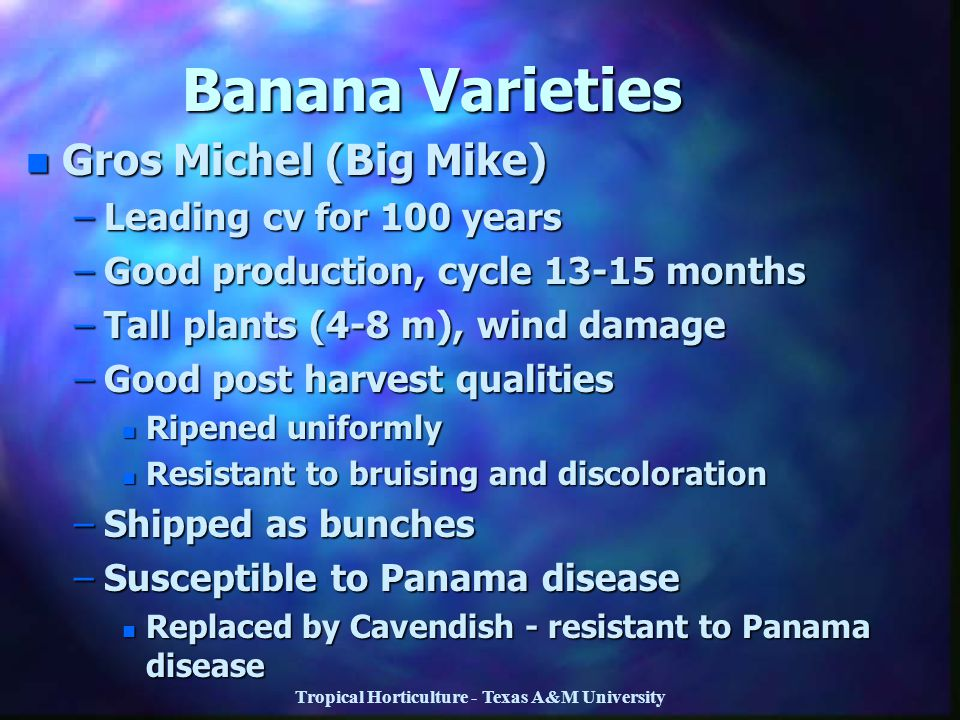 Tropical Horticulture - Texas A&M University Banana Varieties n Gros Michel (Big Mike) –Leading cv for 100 years –Good production, cycle 13-15 months