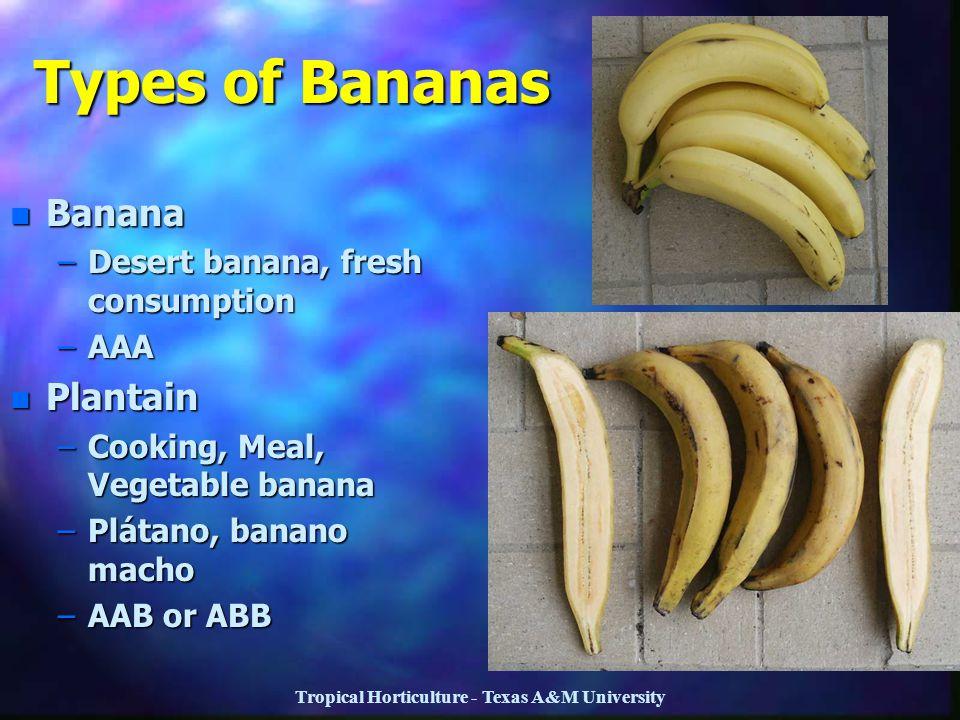 Tropical Horticulture - Texas A&M University Types of Bananas n Banana –Desert banana, fresh consumption –AAA n Plantain –Cooking, Meal, Vegetable ban