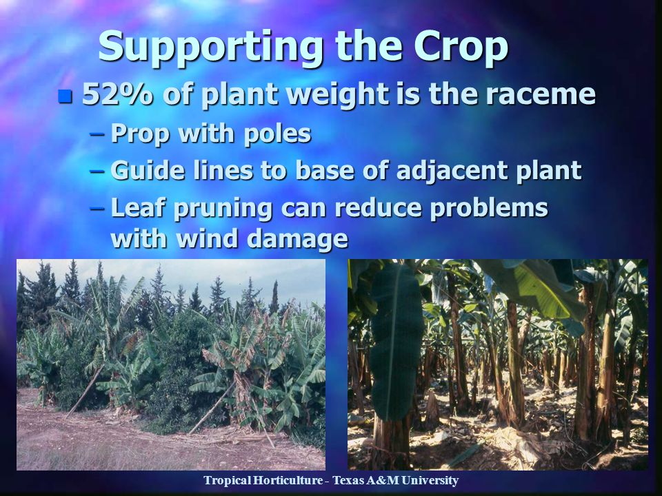 Tropical Horticulture - Texas A&M University Supporting the Crop n 52% of plant weight is the raceme –Prop with poles –Guide lines to base of adjacent