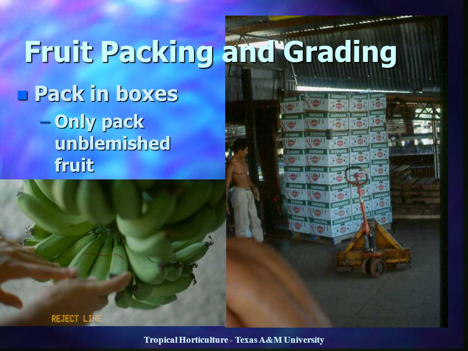 Tropical Horticulture - Texas A&M University n Pack in boxes –Only pack unblemished fruit Fruit Packing and Grading
