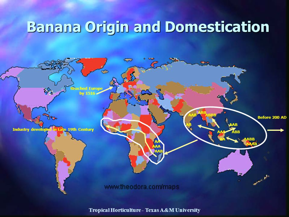 Tropical Horticulture - Texas A&M University Banana Origin and Domestication AA AAA AAB ABB AABB AAAB ABBB ABB AAB AB Industry developed in Late 19th