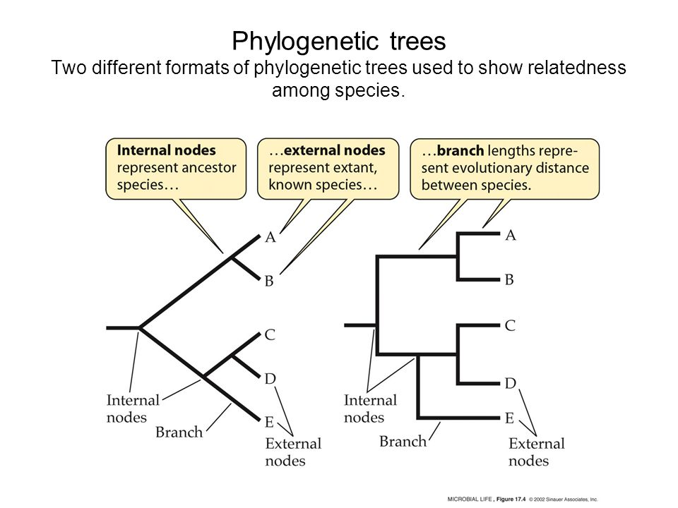 Phylogenetic trees Two different formats of phylogenetic trees used to show relatedness among species.