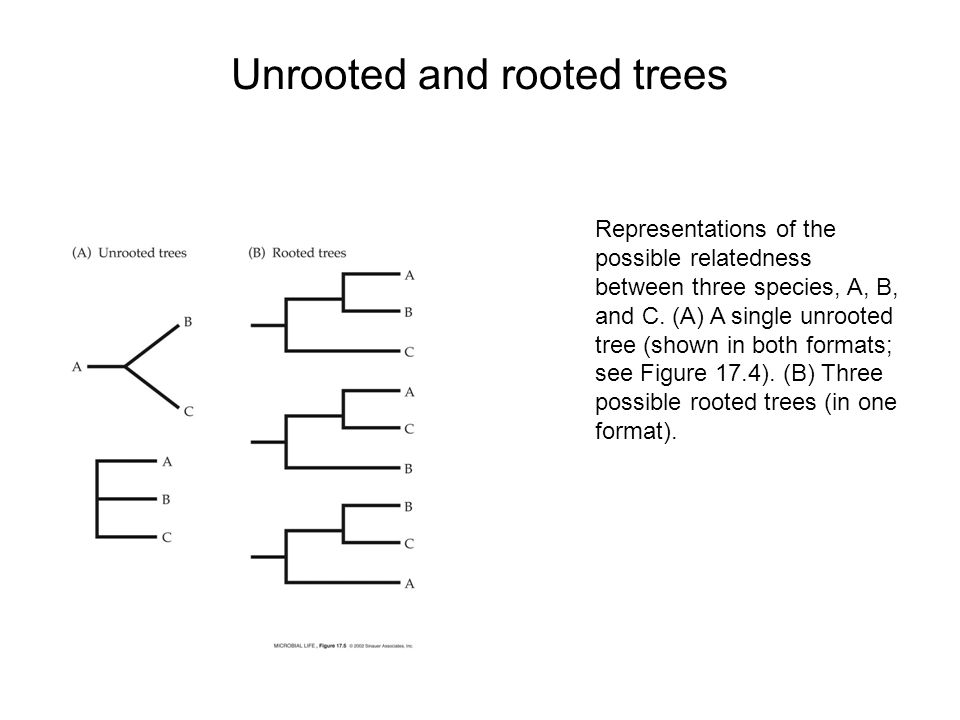 Unrooted and rooted trees Representations of the possible relatedness between three species, A, B, and C.