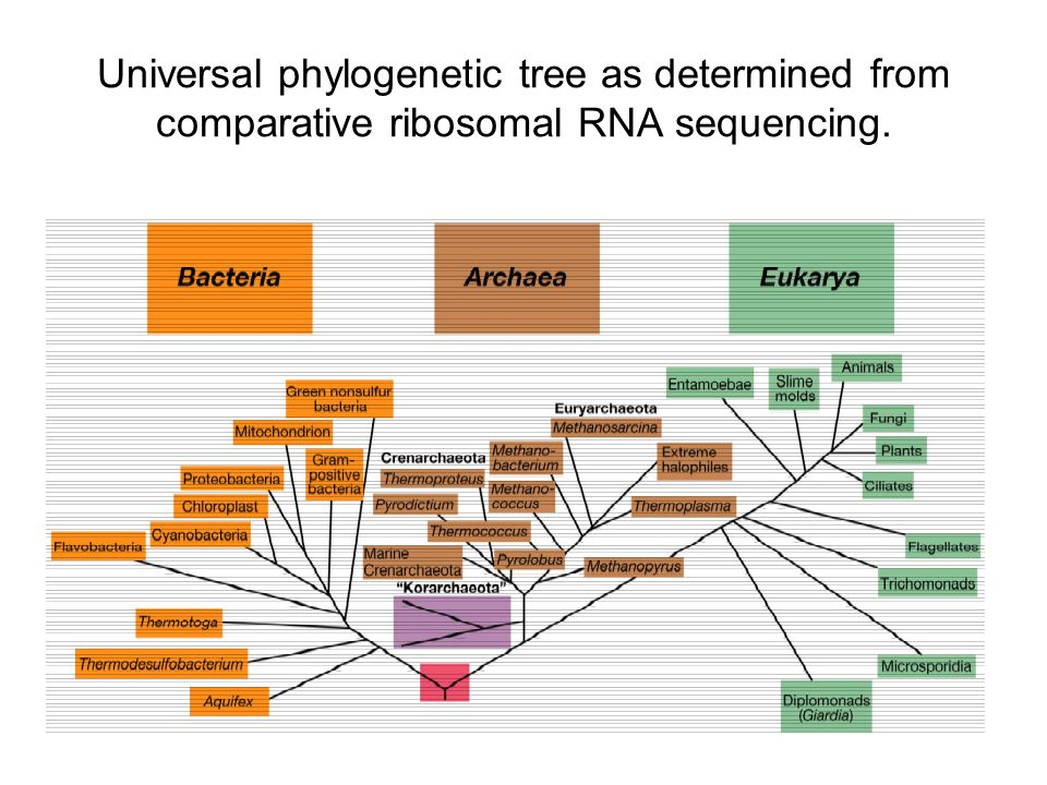 Universal phylogenetic tree as determined from comparative ribosomal RNA sequencing.