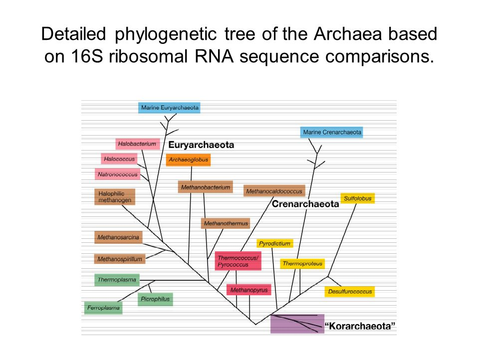 Detailed phylogenetic tree of the Archaea based on 16S ribosomal RNA sequence comparisons.