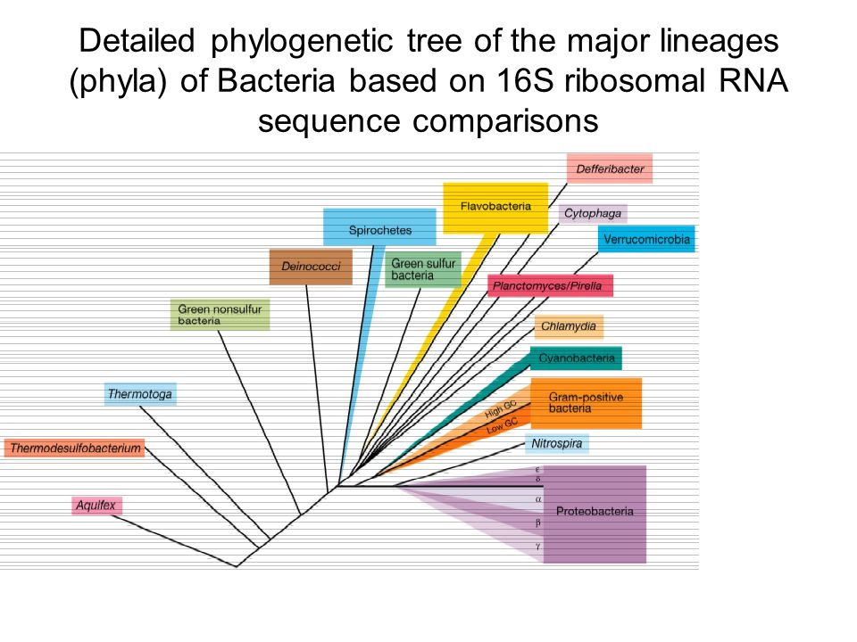 Detailed phylogenetic tree of the major lineages (phyla) of Bacteria based on 16S ribosomal RNA sequence comparisons