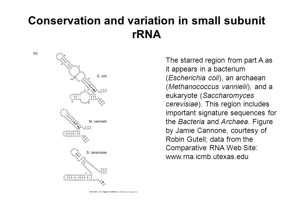 Conservation and variation in small subunit rRNA The starred region from part A as it appears in a bacterium (Escherichia coli), an archaean (Methanococcus vannielii), and a eukaryote (Saccharomyces cerevisiae).