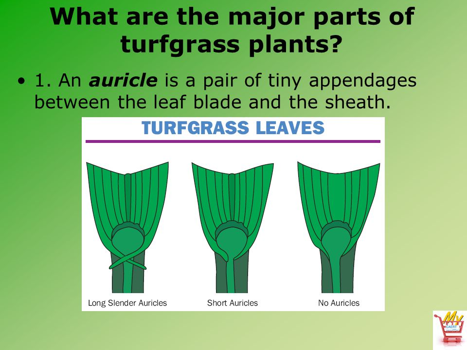 What are the major parts of turfgrass plants? 1. An auricle is a pair of tiny appendages between the leaf blade and the sheath.