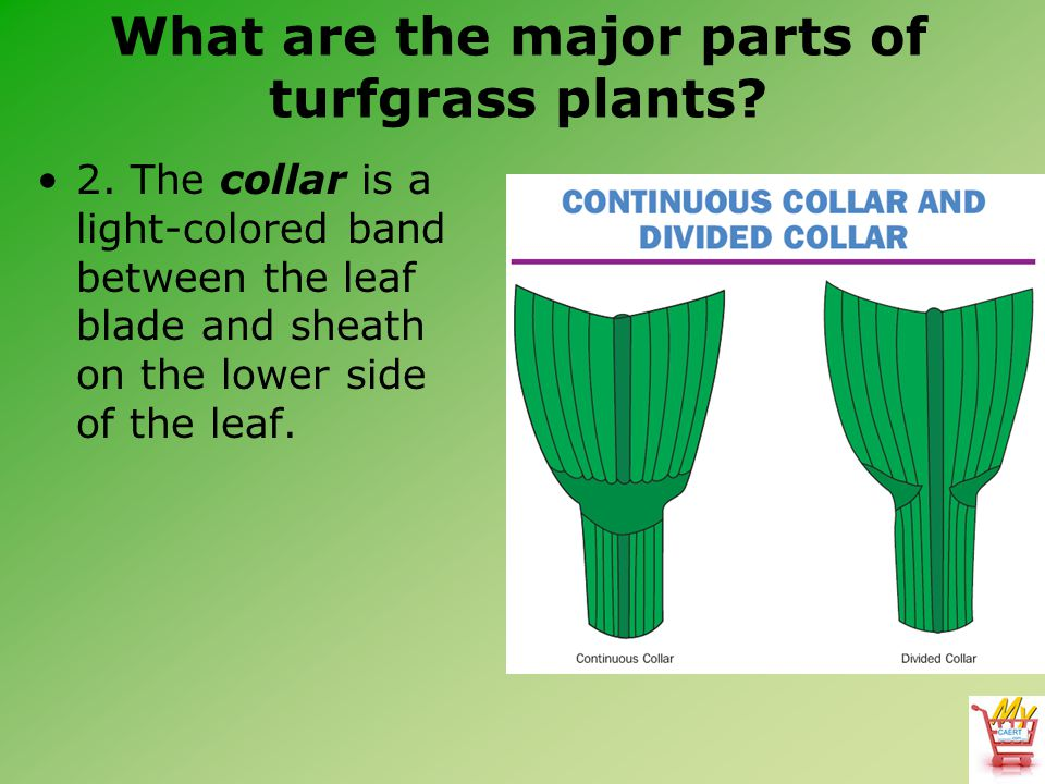 What are the major parts of turfgrass plants? 2. The collar is a light-colored band between the leaf blade and sheath on the lower side of the leaf.
