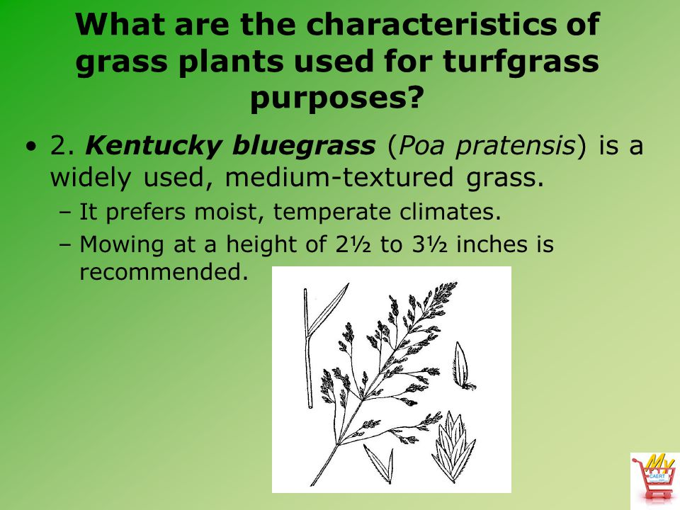 What are the characteristics of grass plants used for turfgrass purposes? 2. Kentucky bluegrass (Poa pratensis) is a widely used, medium-textured gras