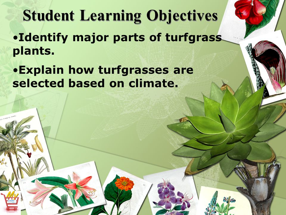 Student Learning Objectives Identify major parts of turfgrass plants.