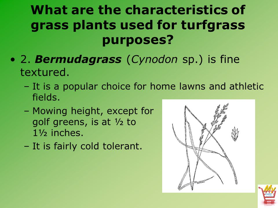 What are the characteristics of grass plants used for turfgrass purposes? 2. Bermudagrass (Cynodon sp.) is fine textured. –It is a popular choice for