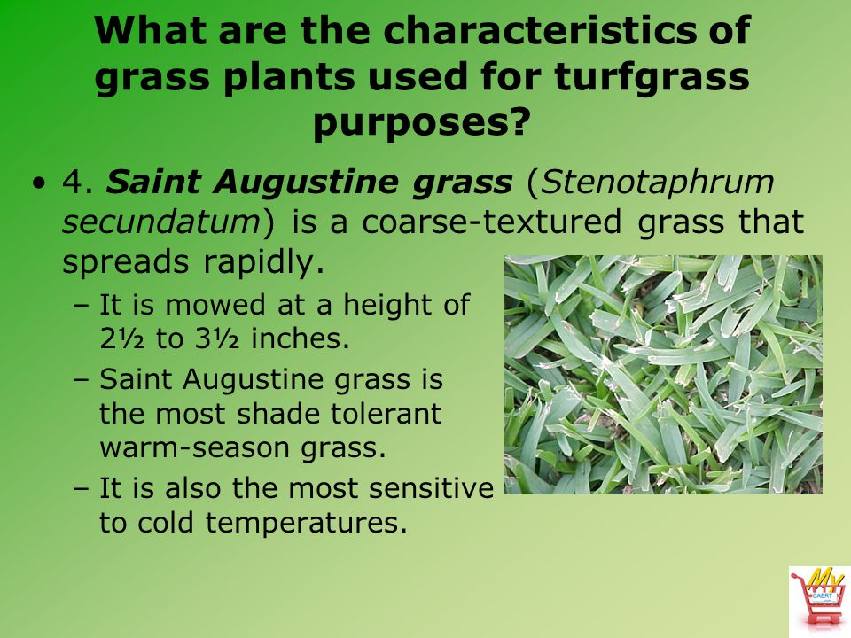 What are the characteristics of grass plants used for turfgrass purposes? 4. Saint Augustine grass (Stenotaphrum secundatum) is a coarse-textured gras