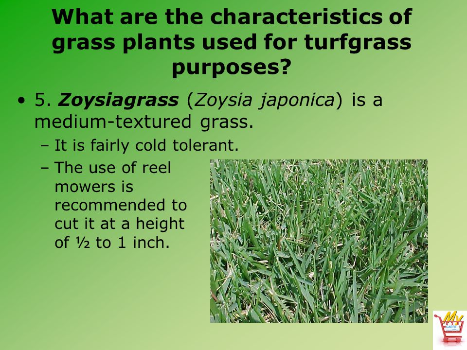 What are the characteristics of grass plants used for turfgrass purposes? 5. Zoysiagrass (Zoysia japonica) is a medium-textured grass. –It is fairly c