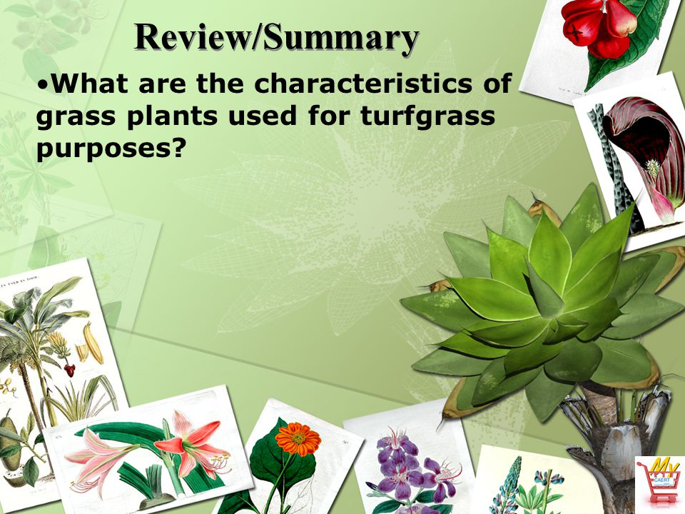 Review/Summary What are the characteristics of grass plants used for turfgrass purposes?