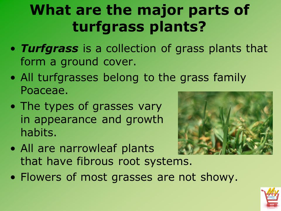 How are turfgrasses selected based on climate.