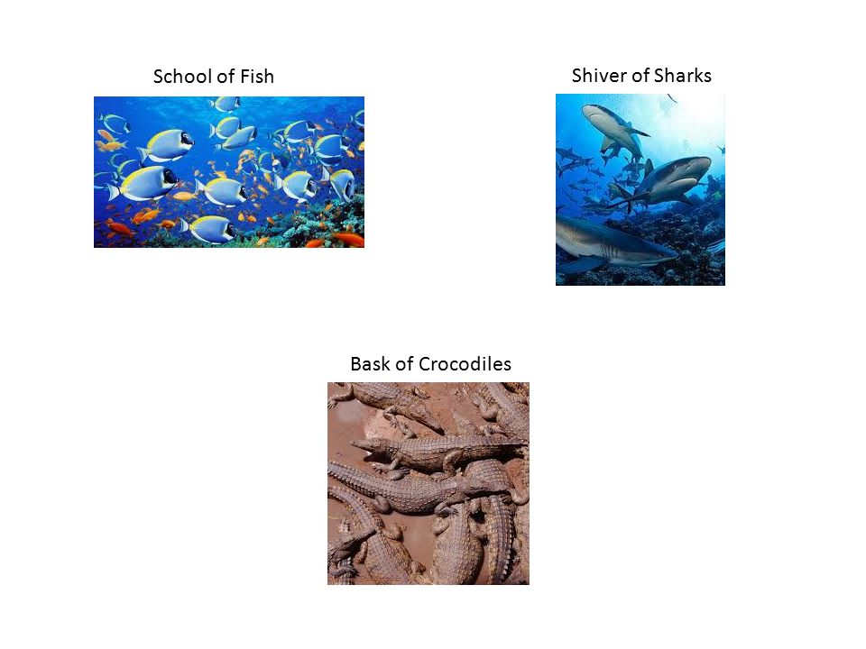 School of Fish Shiver of Sharks Bask of Crocodiles