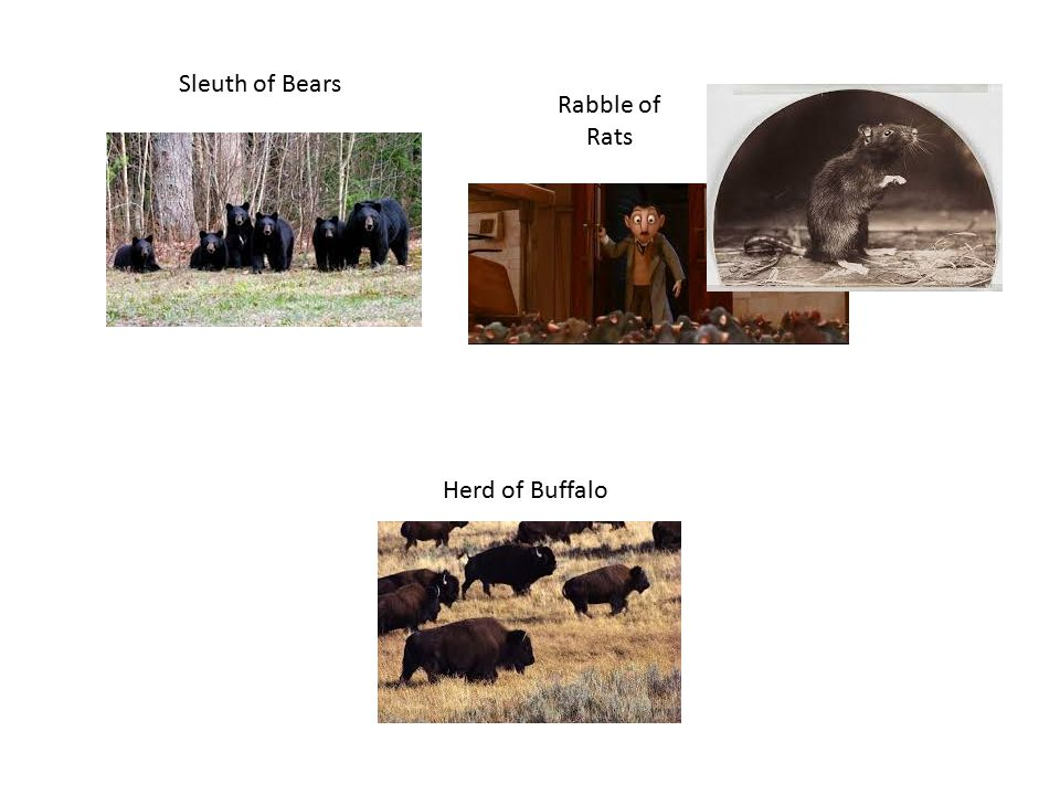 Sleuth of Bears Rabble of Rats Herd of Buffalo
