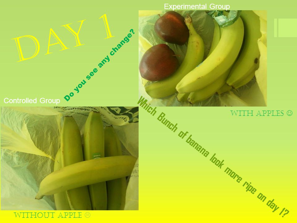 Day 1 With apples Without apple  Controlled Group Experimental Group Which Bunch of banana look more ripe on day 1? Do you see any change?
