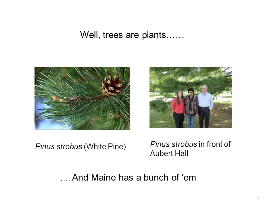 Well, trees are plants…… Pinus strobus (White Pine) Pinus strobus in front of Aubert Hall …. And Maine has a bunch of 'em 5