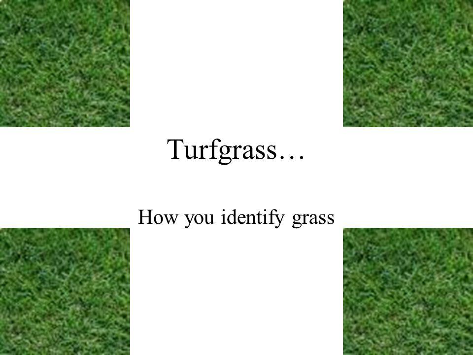 Turfgrass… How you identify grass