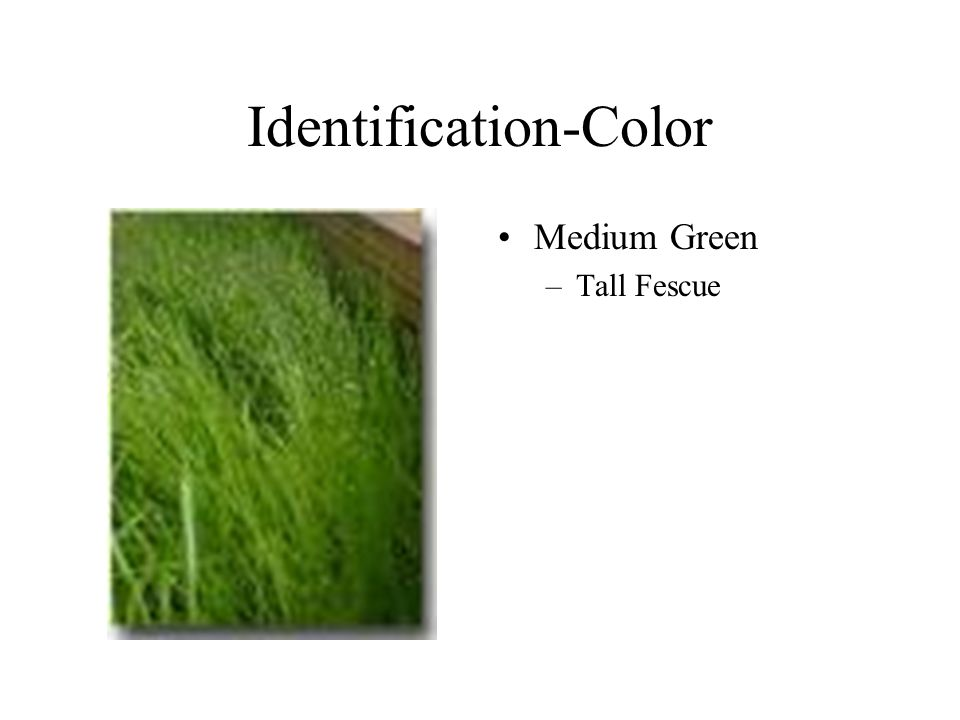 Identification-Color Medium Green –Tall Fescue