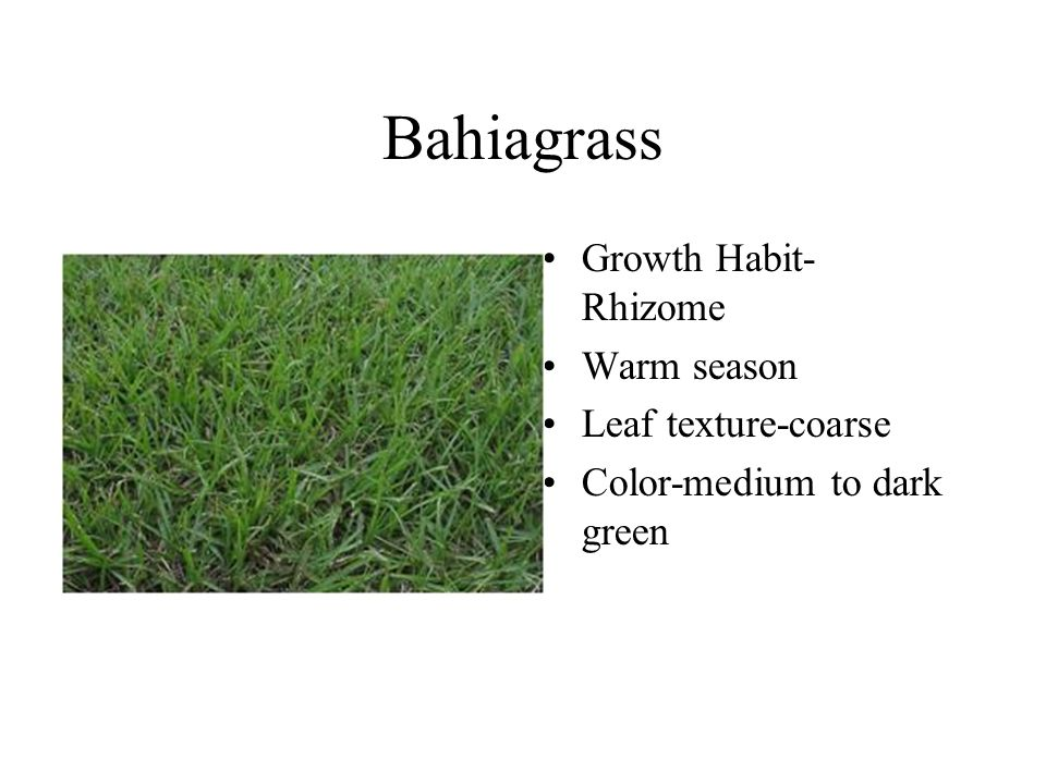Bahiagrass Growth Habit- Rhizome Warm season Leaf texture-coarse Color-medium to dark green