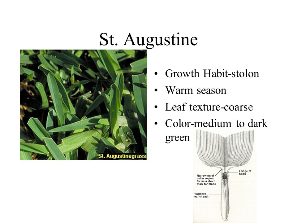 St. Augustine Growth Habit-stolon Warm season Leaf texture-coarse Color-medium to dark green