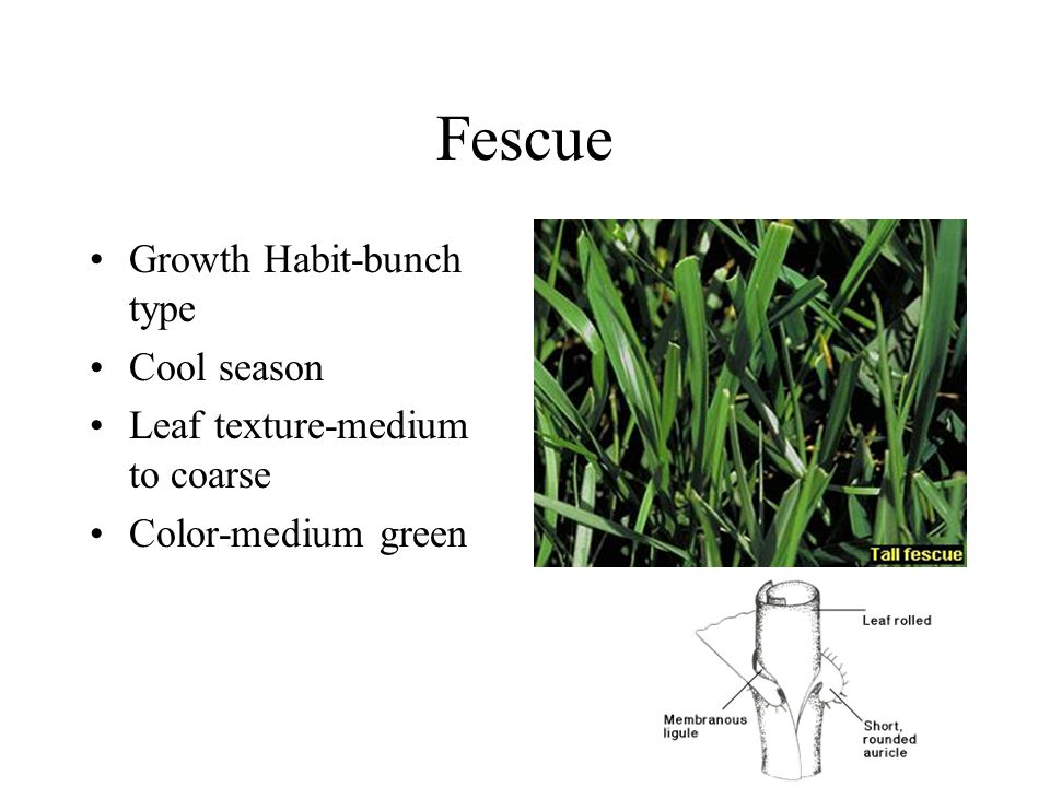 Fescue Growth Habit-bunch type Cool season Leaf texture-medium to coarse Color-medium green