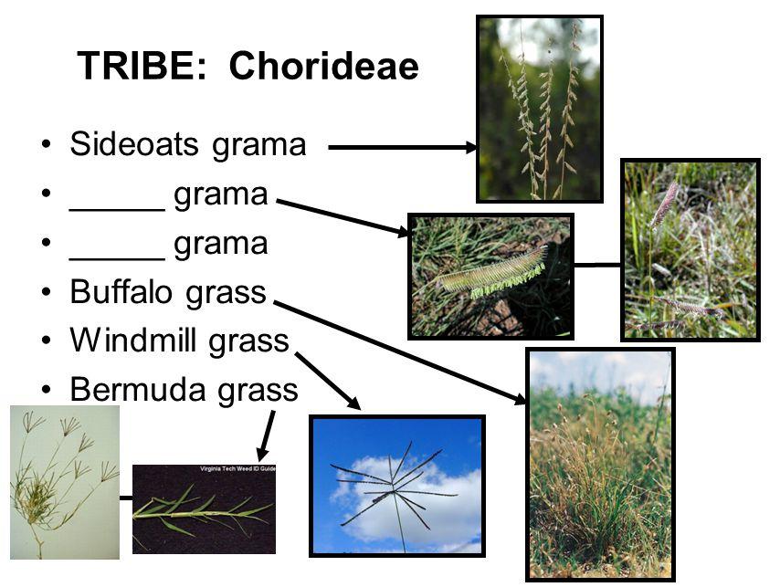 TRIBE: Chorideae Sideoats grama _____ grama Buffalo grass Windmill grass Bermuda grass