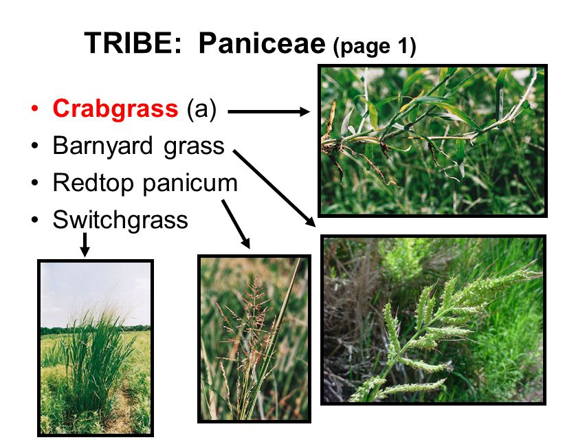 TRIBE: Paniceae (page 1) Crabgrass (a) Barnyard grass Redtop panicum Switchgrass