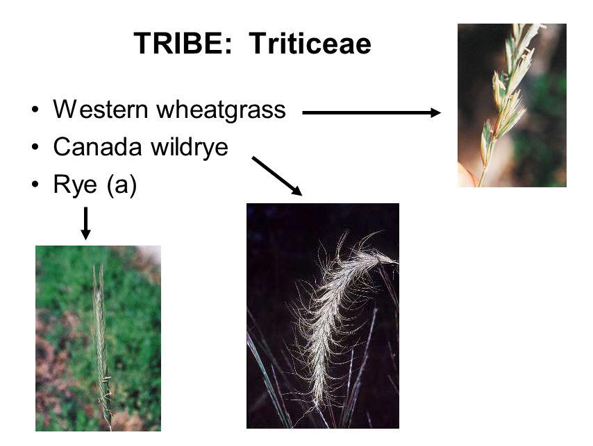 TRIBE: Triticeae Western wheatgrass Canada wildrye Rye (a)