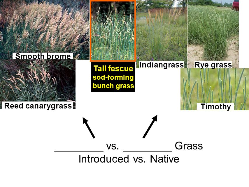 ________ vs. ________ Grass Introduced vs. Native Timothy Rye grassIndiangrass Tall fescue sod-forming bunch grass Smooth brome Reed canarygrass