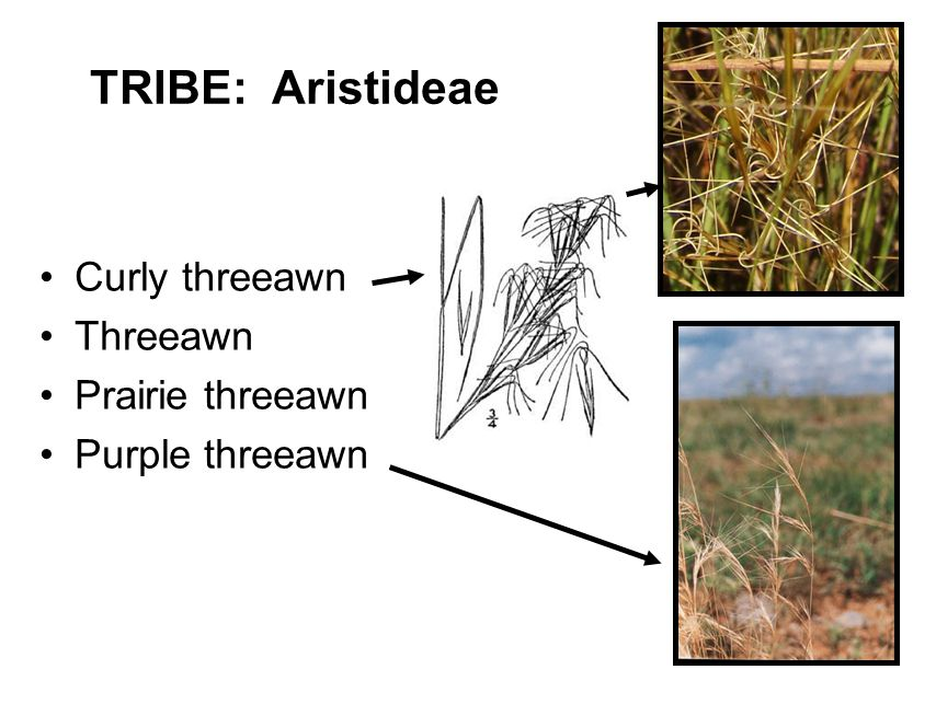 TRIBE: Aristideae Curly threeawn Threeawn Prairie threeawn Purple threeawn