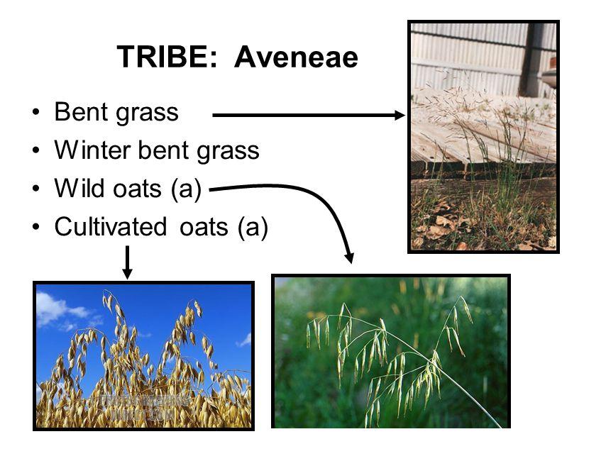 TRIBE: Aveneae Bent grass Winter bent grass Wild oats (a) Cultivated oats (a)