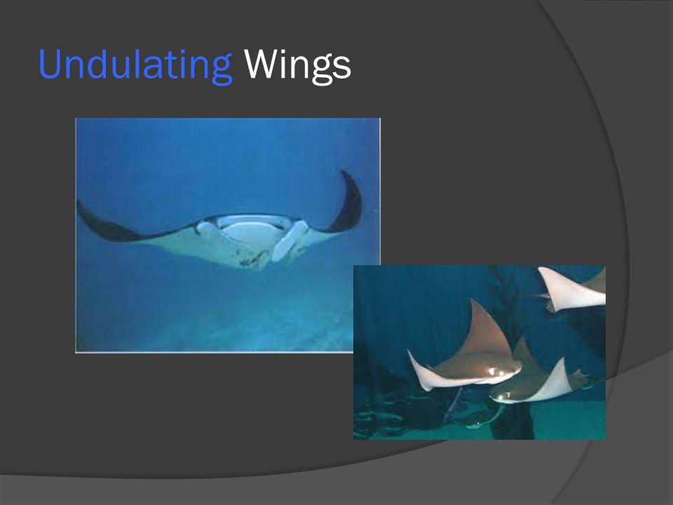 Undulating Wings
