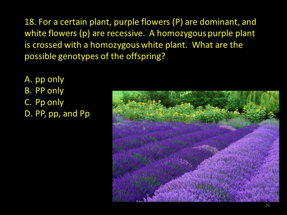 18.For a certain plant, purple flowers (P) are dominant, and white flowers (p) are recessive.