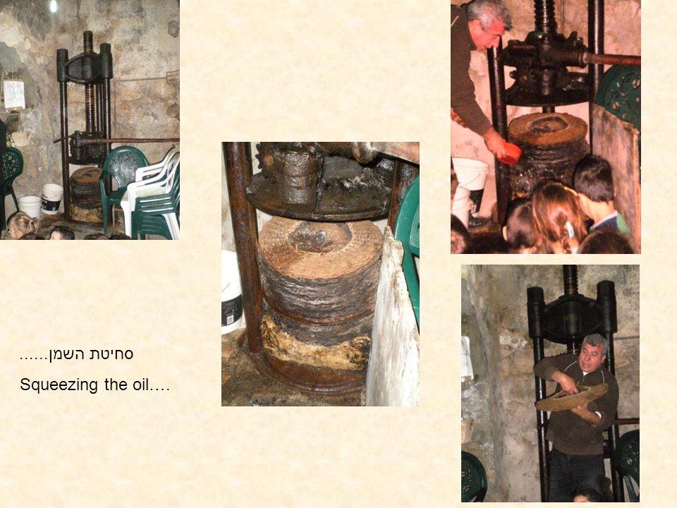 סחיטת השמן...... Squeezing the oil….