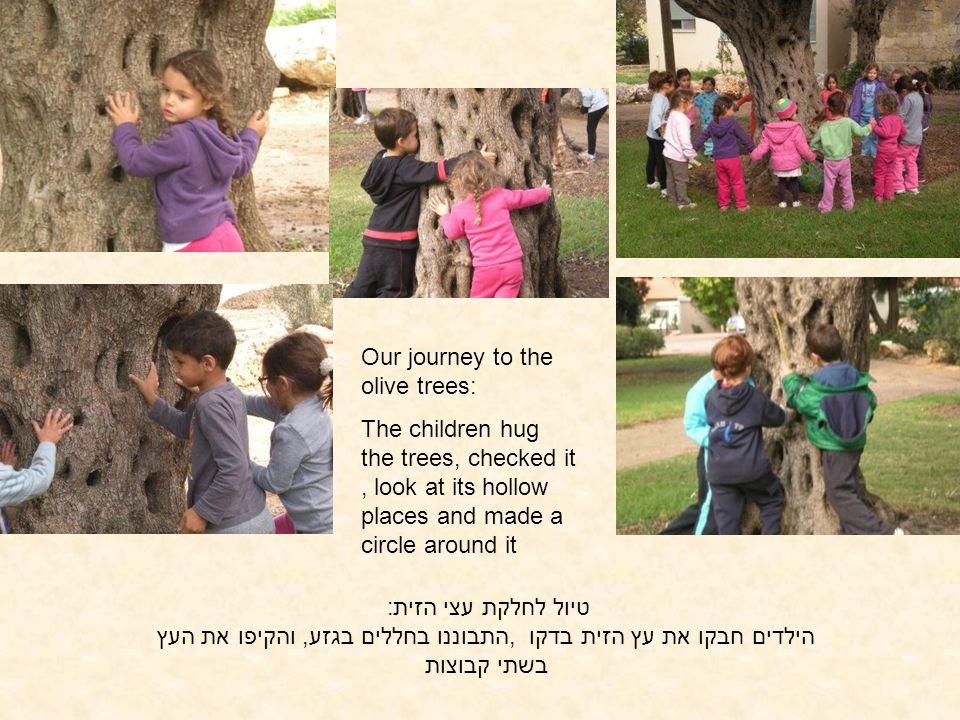 טיול לחלקת עצי הזית: הילדים חבקו את עץ הזית בדקו,התבוננו בחללים בגזע, והקיפו את העץ בשתי קבוצות Our journey to the olive trees: The children hug the t