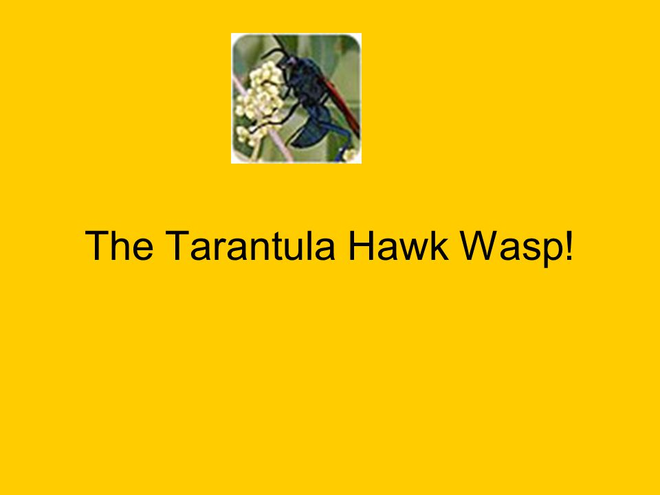 The Tarantula Hawk Wasp!