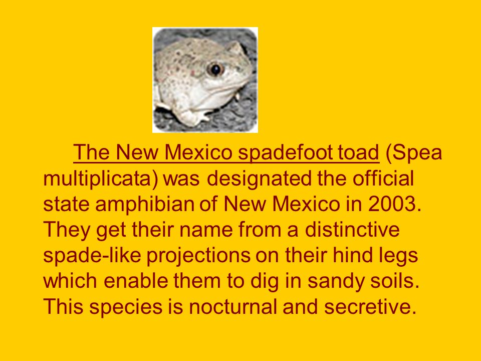 The New Mexico spadefoot toad (Spea multiplicata) was designated the official state amphibian of New Mexico in 2003.