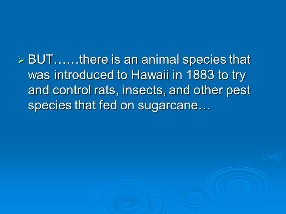  BUT……there is an animal species that was introduced to Hawaii in 1883 to try and control rats, insects, and other pest species that fed on sugarcane…