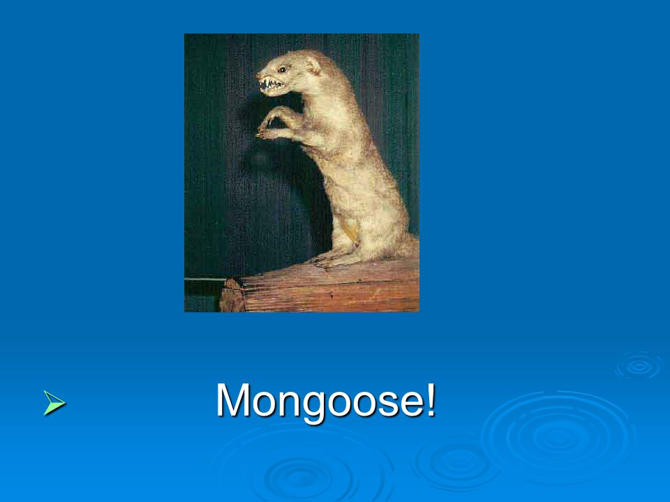 Mongoose!