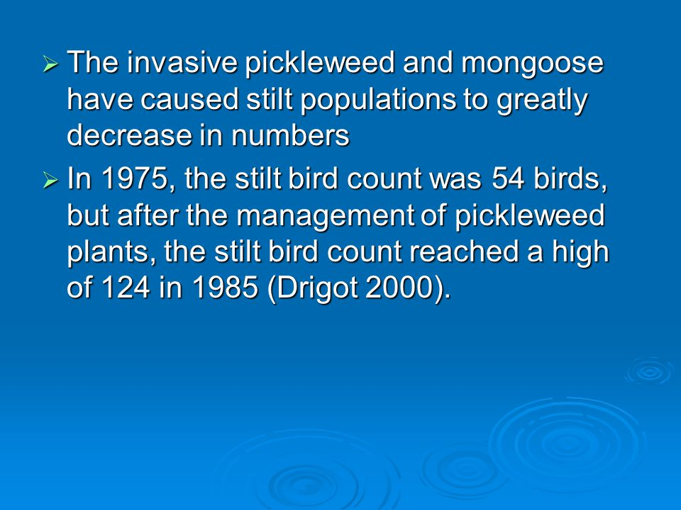  The invasive pickleweed and mongoose have caused stilt populations to greatly decrease in numbers  In 1975, the stilt bird count was 54 birds, but after the management of pickleweed plants, the stilt bird count reached a high of 124 in 1985 (Drigot 2000).