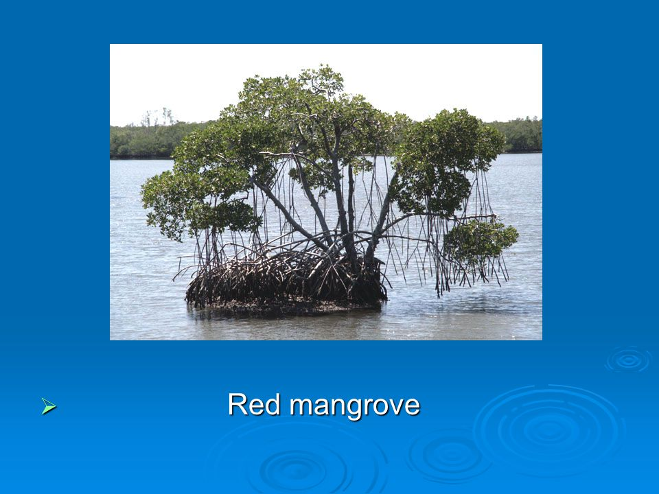  These moats made by the AAVs creates nesting grounds for birds like the stilts  But how are mangroves removed?