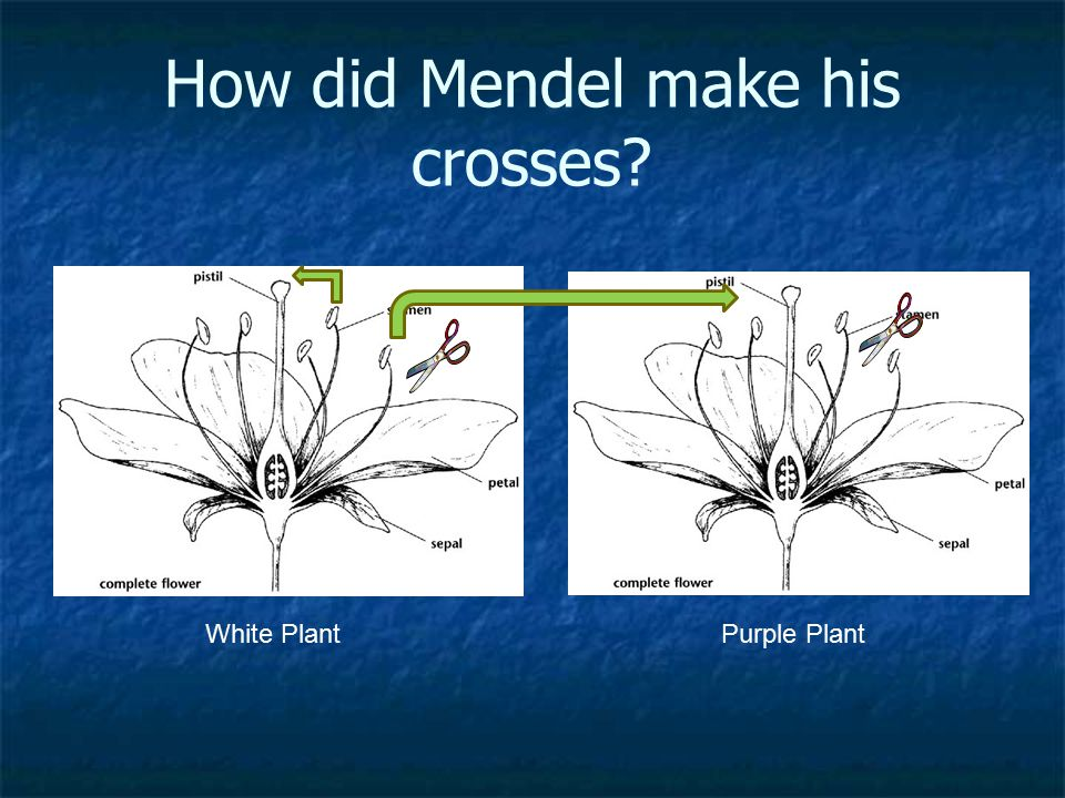How did Mendel make his crosses? White PlantPurple Plant