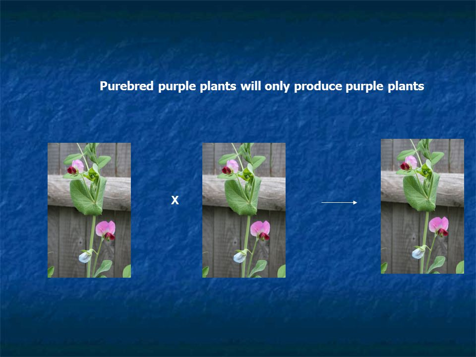 Purebred purple plants will only produce purple plants X