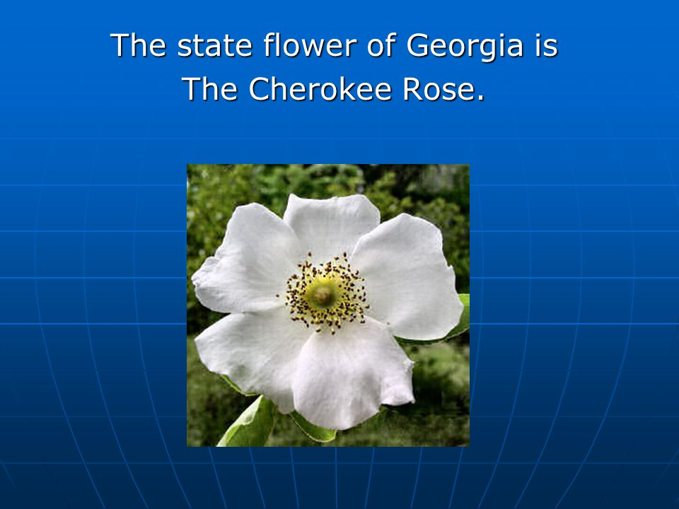 The state flower of Georgia is The Cherokee Rose.