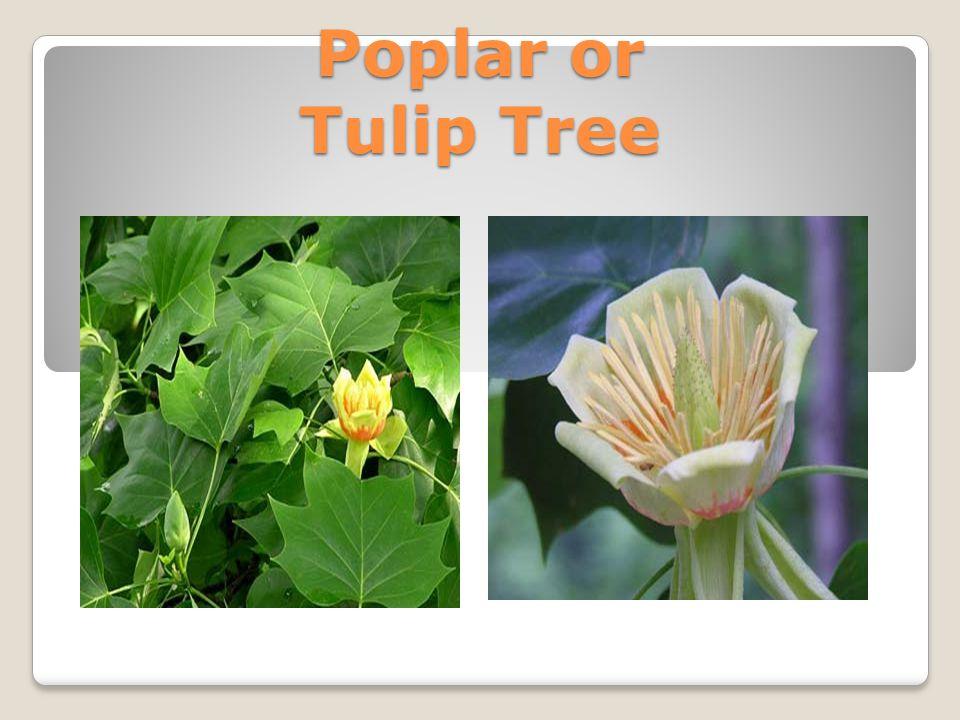 Poplar or Tulip Tree